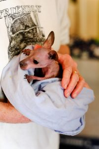 One of the young orphaned wallaby joeys that Bev Grant is bottle-feeding around the clock