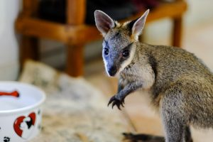 Jack is an orphaned swamp wallaby joey currently in the care of Bev Grant